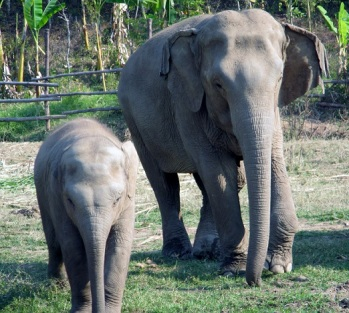 This adorable little girl loves to slowly walk over to tourists and then charge them at the last second.  Fun for elephants!!