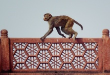 Monkeys running along a building in Jaipur