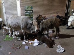 Some cows munching on garbage in Udaipur