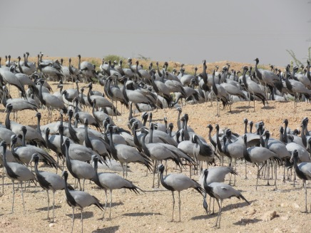 These cranes nest in India by the thousands