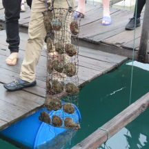 Oysters are kept in these cage thingys