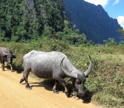 We gave this water buffalo LOTS of room!!!