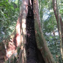 A tree hollowed out by termites