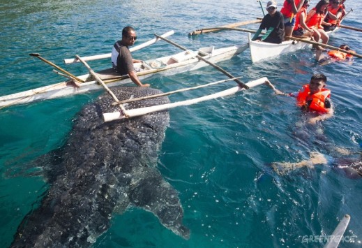Whaleshark feeding in Oslob, Cebu